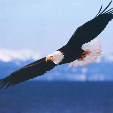 На Алясці білоголовий орлан врізався в літак: усі загинули
