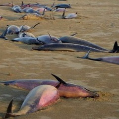 В окупованому Севастополі через розлиту у море нафту гинуть дельфіни