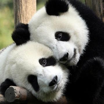 У Китаї дитинчата панди завадили роботі прибиральниці (відео)