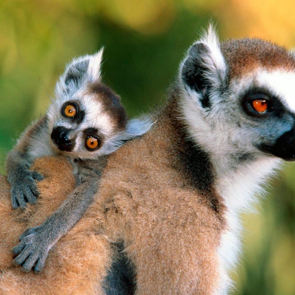 Із зоопарку в Черкасах викрали Лемура