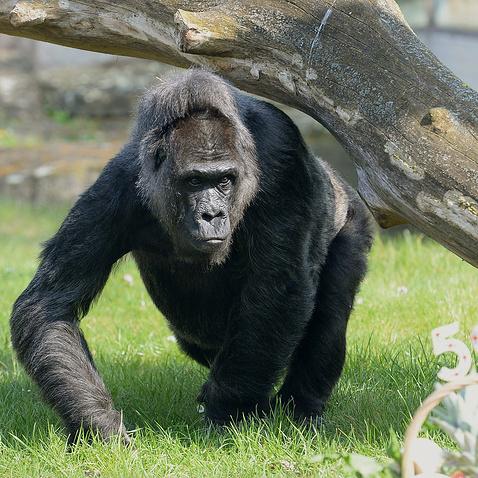 Тисячі американців вимагають покарати батьків дитини за умертвіння горили в зоопарку