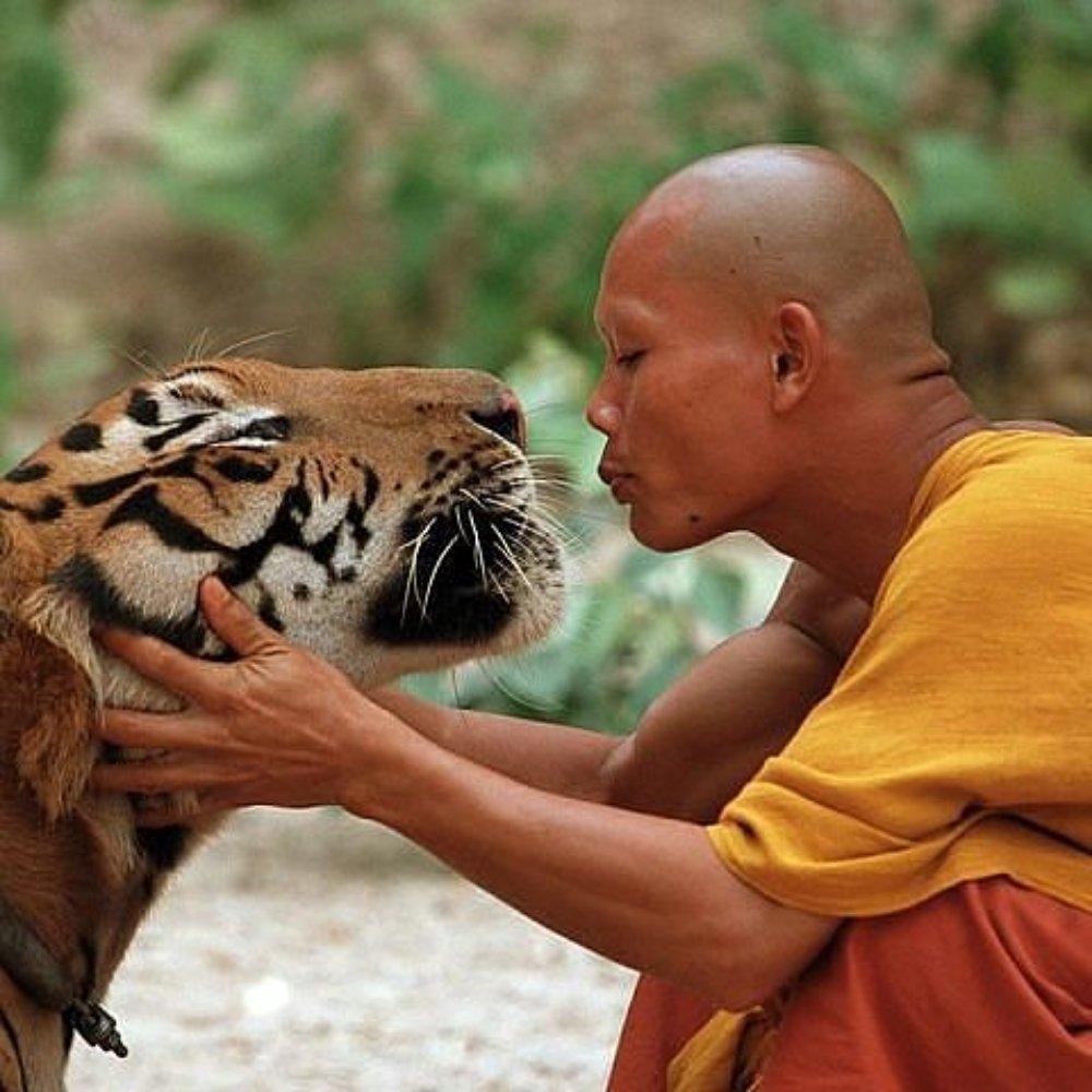 У буддійських монахів вилучили 40 заморожених тигренят