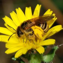 Новий вид бджіл назвали на честь покемона
