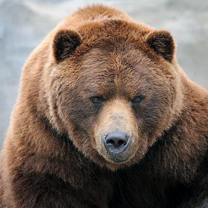 У Фінляндії військові навчання припинилися через ведмедя