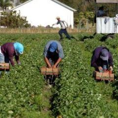 Українці працюють на сезонних роботах у Польщі, а поляки їдуть до Голландії