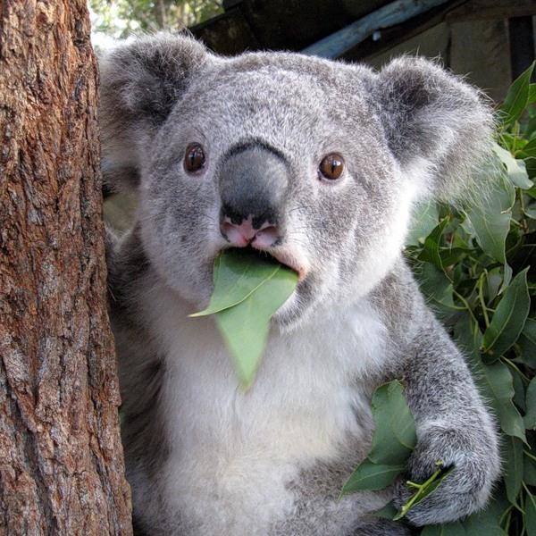 Пінгвін, слониха, півень і коала передбачили німцям долю Євро-2016