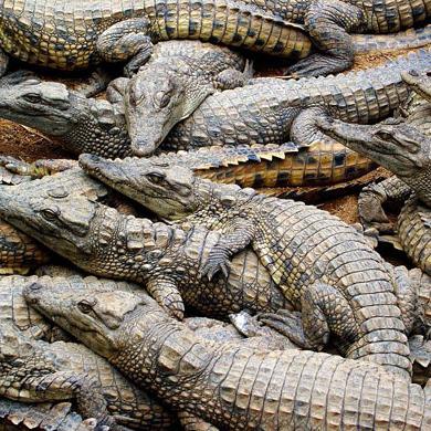 У Харківському зоопарку крокодили привели потомство