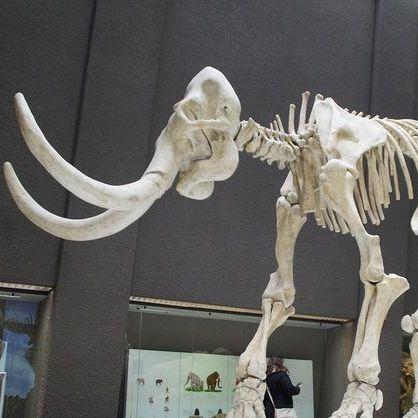 У Мексиці викопали скелет мамонта