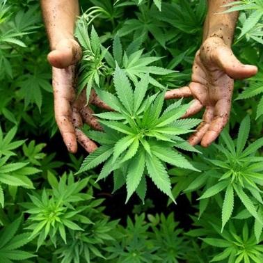 У Канаді відкриються навчальні курси по вирощуванню марихуани