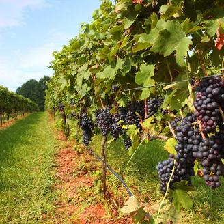 Невідомі на бульдозері знищили виноградники французького винороба