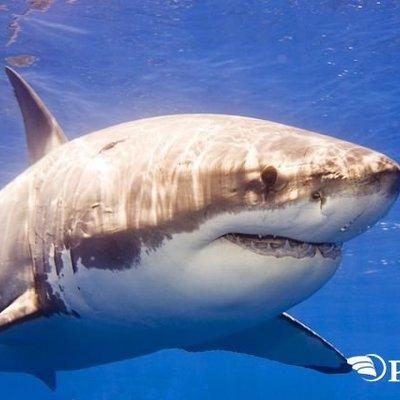 В Австралії 65-річний серфер відбився від нападу білої акули (відео)