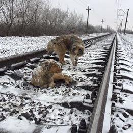 Пес два дні закривав собою травмовану подругу на рейках залізниці (відео)