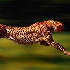 Гепарди скоро зникнуть з лиця землі