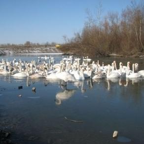 У Чернівецькій області на ставку знайшли понад 20 мертвих лебедів