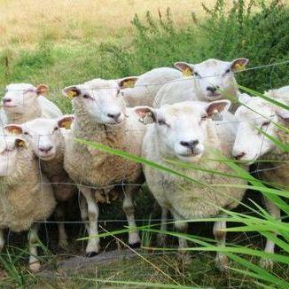 Тисячі фінів готові заплатити гроші за те, щоб працювати пастухами