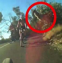 Хіт соцмереж. В Австралії кенгуру перестрибнув через велосипедиста (відео)