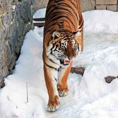 Напевно одні тигри радіють снігопаду у Києві: фото