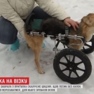 Собака - інвалід, якій відрізало дві лапи трамваєм, навчилась бігати