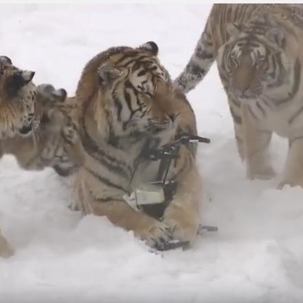 Амурські тигри збили та з'їли безпілотник (відео)