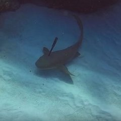 Дайвери допомогли акулі та витягли з її голови ніж (відео)