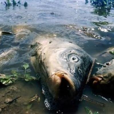 У Києві виловили кількасот кілограмів гнилої риби у водоймах