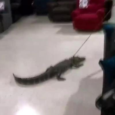 Як у Флориді алігатора тягнули по магазину меблів (відео)