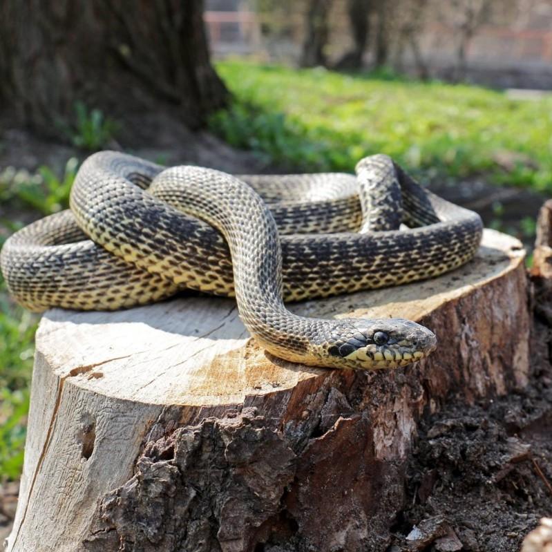 Поліція знайшла на дитячому майданчику у Києві рідкісну змію з окупованого Криму