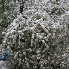 Негода в Криму: сніг падає прямо на квітучі дерева, (відео)