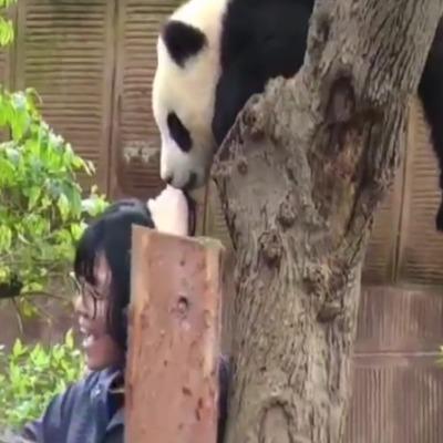 Малюк панди вкусив відвідувачку зоопарку за голову (відео)