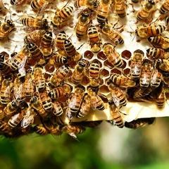 Столицю Чехії заполонили бджоли