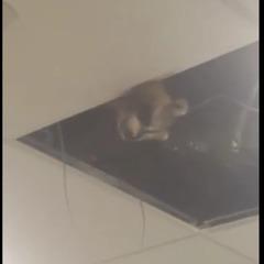 Допитливий єнот, що причаївся під стелею канадського аеропорту, зачарував соцмережі (відео)