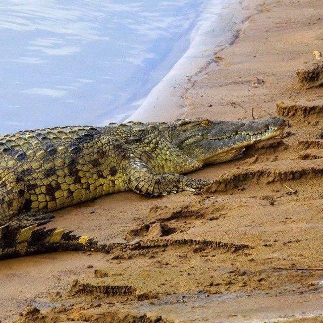 В Зімбабве крокодил з'їв пастора, який хотів пройти по воді