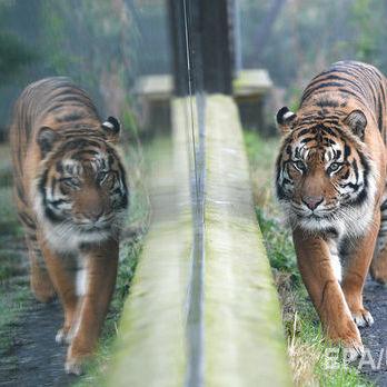 В Англії тигр убив робітницю зоопарку, відвідувачів евакуювали