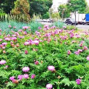 У столиці влаштовано 100 квітників-багаторічників