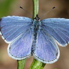У фінів з'явився національний метелик