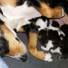 У Фінляндії собака «всиновив» трьох кошенят-сиріт (фото)