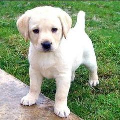У Чехії запровадили обов'язкове вживлення чіпів собакам