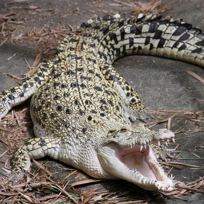 У Мексиці мер міста став під вінець із самкою крокодила