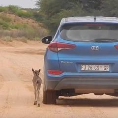 Дитинча антилопи гну прийняло машину за родича та пробігло шість кілометрів (відео)