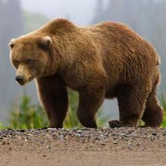 В США ведмідь вдерся до житлового будинку, щоб «повечеряти»
