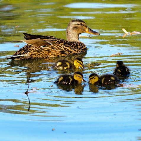 Спецоперація «врятувати маму-качку із каченятами» пройшла на Андріївському узвозі (відео)