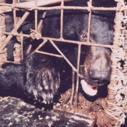 У В'єтнамі на волю виходять тисячі ведмедів, з яких витягують жовч