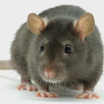 Вчені на мишах навчились уповільнювати старіння