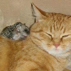 Мережу покорило відео, де кішка годує чотирьох маленьких їжаків, які втратили матір