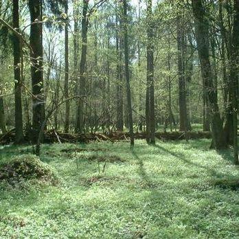Євросуд заборонив Польщі вирубувати Біловезьку пущу