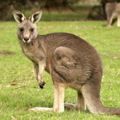 В Австралії порятунок кенгуру з канави зняли на відео