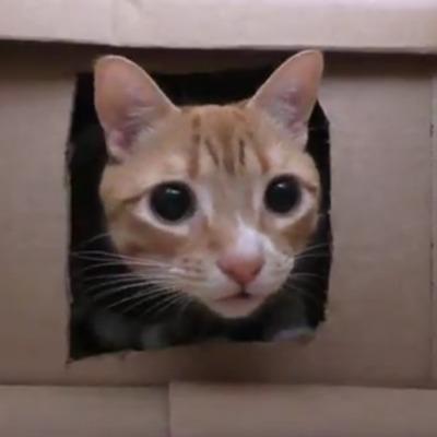 Американець побудував лабіринт із коробок для своїх кішок (відео)