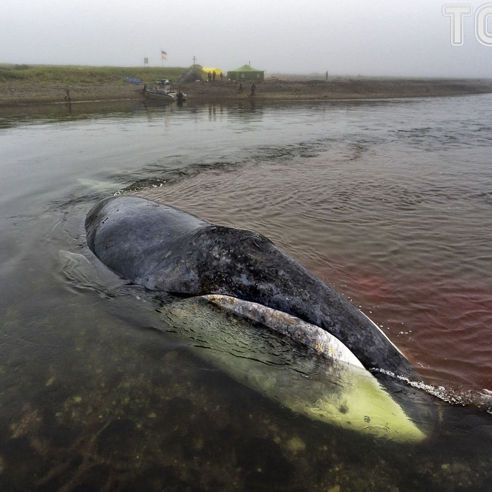 У Росії кит застряг у гирлі річки