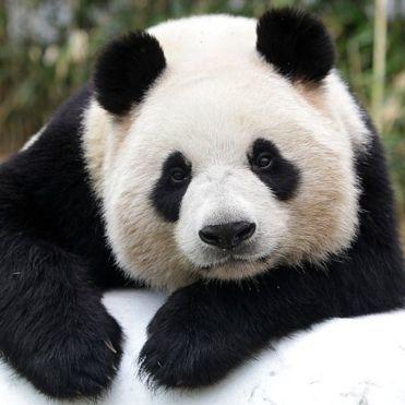Найкумедніші падіння панд зібрали в одному ролику (відео)