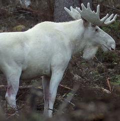 Рідкісного білого лося побачили в Швеції (відео)